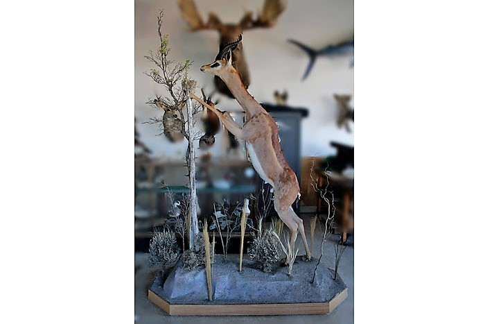 African Safari Artistic Taxidermy